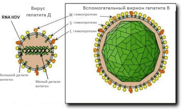 Вирусные гепатиты a b c d e и методики их лечения Вирус гепатита d